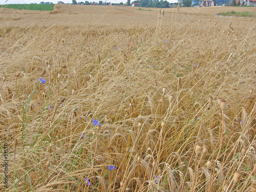 field of wheat 2