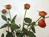 bunch of red roses - isolated poster