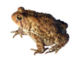 common toad isolated 1 (of 3) poster