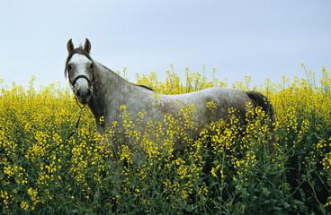 arabien horse