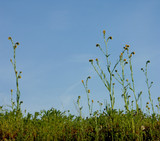 blue sky with tall wild flowers in foreground poster