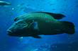 ������, ������: napoleon fish isolated