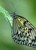idea leuconoe butterfly poster