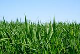 Fototapety champ d'herbe