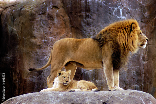 animal - african lion (panthera leo krugeri) - 608573