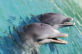 two dolphins playing poster
