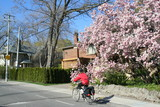 magnolia tree and cyclist poster