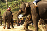 thailand, chiang mai: elephant playing football poster