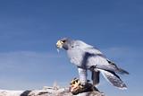 falcon feeding poster