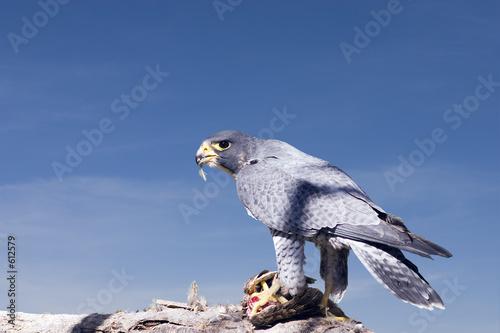Karmienie falcon