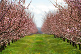 blooming peach orchard poster