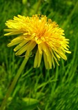 the gold flower of dandelion poster