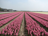 hyacinth fields