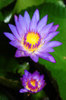 twin waterlily