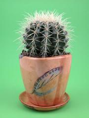 grussoni cactus