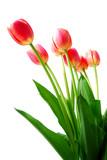 pink tulips - Fine Art prints