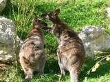 red neck wallabies poster