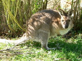 red neck wallaby poster