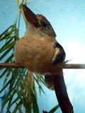 blue wing kookaburra poster