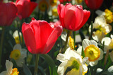 bright tulips and white flowers poster