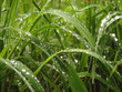 Quadro grass and dew