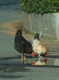 chicken reflections poster