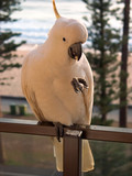 manly cockatiel front poster