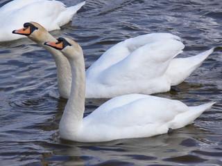 swans in par