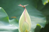 dragonfly with lotus
