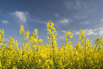 oil seed rape 2