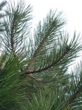 branch of pine-tree poster