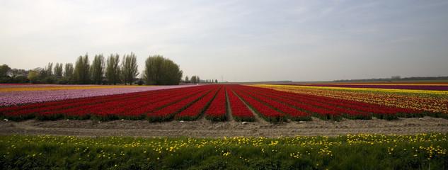 tulip field 17