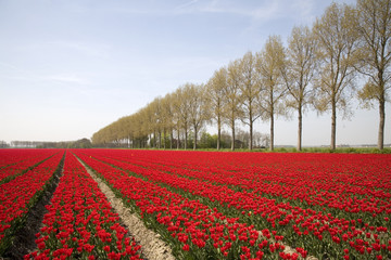 tulip field 18