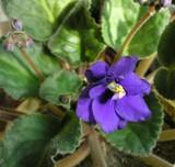 flower violet poster