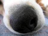 beagle nose macro poster