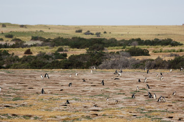 pingouin colonie