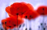 Roter Mohn, Klatschmohn, Blume des Jahres 2017, Copy space - 636732