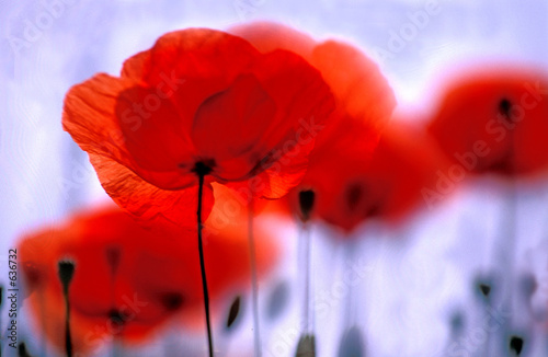 Keuken foto achterwand Poppy Roter Mohn, Klatschmohn, Blume des Jahres 2017, Copy space