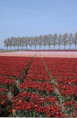 tulip field 21