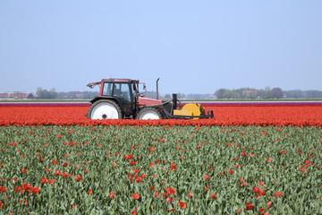 tulip field 22