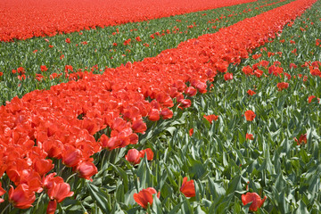 tulip field 23