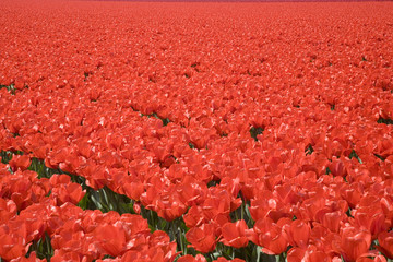 tulip field 24