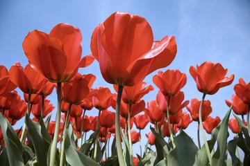 tulip field 25