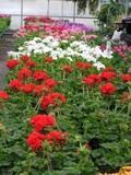 geraniums for sale poster