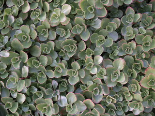 succulent ground cover