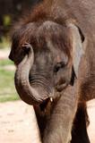 thailand, koh samui: baby elephant poster