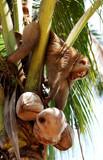 thailand, koh samui: monkey harvesting coconut poster