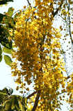 thailand, koh samui island: golden shower tree poster