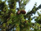 spruce in spring poster