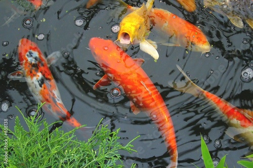 colourful koi